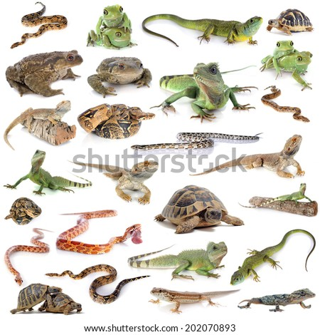 reptile and amphibian in front of white background - stock photo