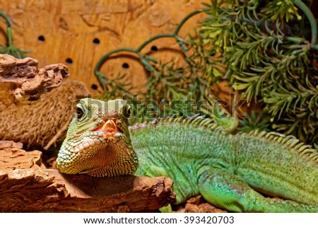 reptile in the terrarium - Chinese water dragon - stock photo