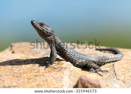 Reptile. Seen during safari tour at South Africa, Africa. - stock photo