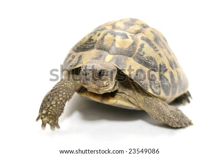 Reptile turtle that walks,Reptile and amphibians - stock photo