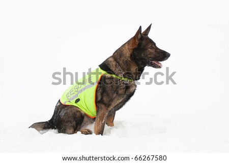 rescue sheepdog searching on white snow background - stock photo