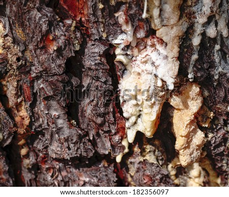 Resin Drop on a Conifer Tree Trunk - stock photo