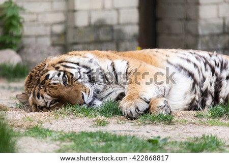Resting Amur tiger - stock photo