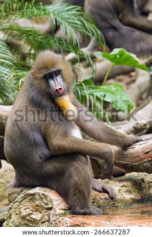Resting baboon sitting on a rock and soaking your feet in the water - stock photo