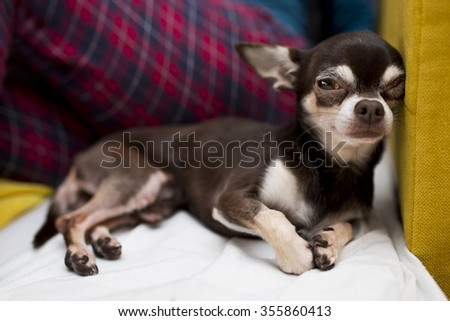 resting chihuahua - stock photo