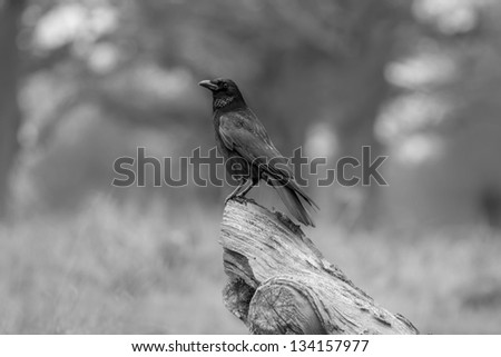 Resting Common Raven - stock photo