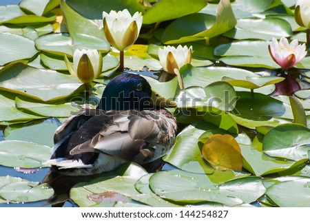 Resting duck and blooming water lilies. - stock photo