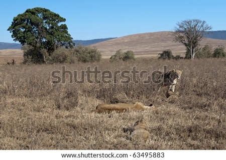 resting female lions with cubs - stock photo