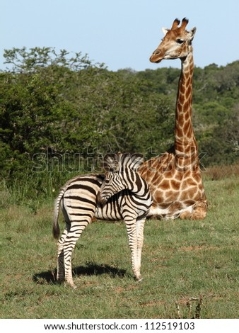 Resting Giraffe and Zebra foal showing size difference. - stock photo