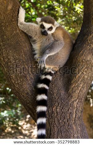Resting Lemur on the tree, Ring-tailed Lemur (Lemur catta) - stock photo