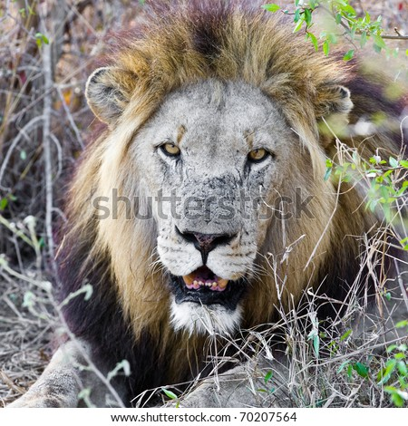 Resting lion in Kruger National Park (South Africa) - stock photo