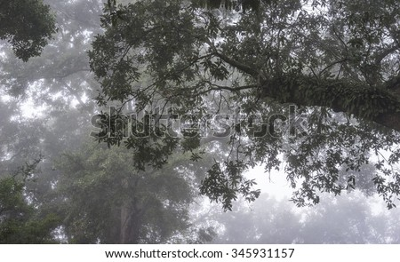 Resurrection Fern thrives in the hot humid south on huge Live Oak Trees. View shown looking up into the forest canopy in dense daybreak fog. Good background or mood shot. - stock photo