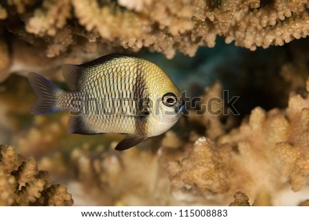 Reticulated Dascyllus (Dascyllus reticulatus) on a tropical coral reef off the island of Palau in Micronesia. - stock photo