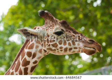 Reticulated giraffe portrait on sky backgrouns - stock photo