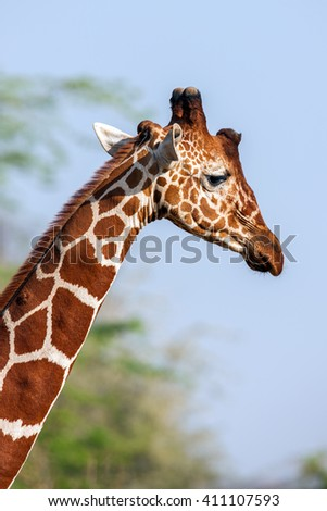 Reticulated Giraffe the male portrait, against backdrop of savannah. Close up - stock photo