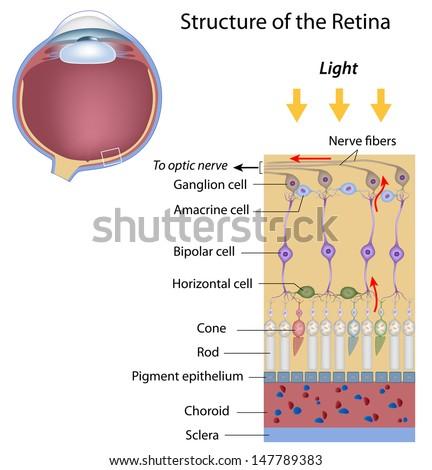 Retina structure - stock photo