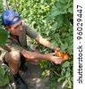 Retired bulgarian farmer checking his tomato crop - stock photo