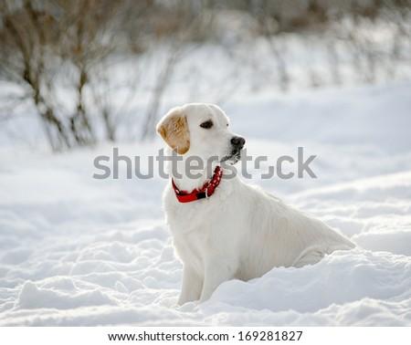 retriever puppy in snow - stock photo
