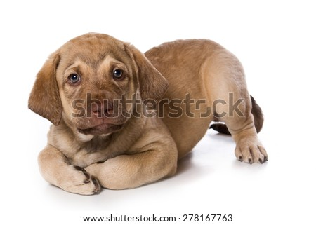 Retriever puppy lying and looking at the camera (isolated on white) - stock photo