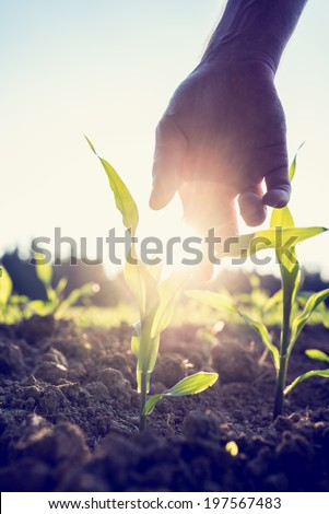 Retro image of male hand reaching down to a young maize plant growing in an agricultural field backlit by a bright early morning burst of sunlight with sun flare around the plant and hand. - stock photo