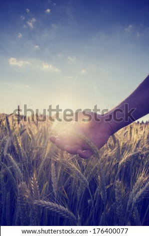 Retro image with a faded sun flare effect of a hand cupping the wheat over a field of ripening ears of wheat on a hot summer day under a clear blue sky. - stock photo