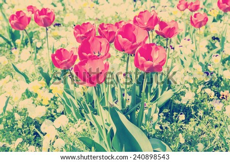 Retro Photo Of Red Spring Tulips Blossom - stock photo