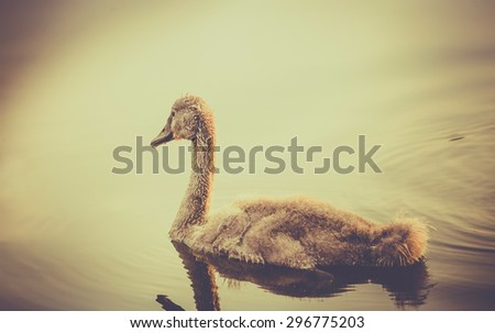 Retro style photo of baby swan floating on water - stock photo