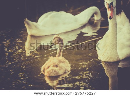 Retro style photo of mute swans family floating on water - stock photo