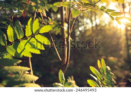 Retro-styled backlit leaves at forest - stock photo