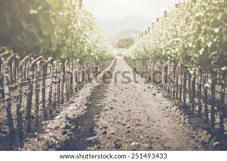 Retro Vineyard with Sunlight with Vintage Film Style - stock photo