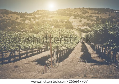 Retro Vineyard with Sunlight with Vintage Instagram Film Style - stock photo