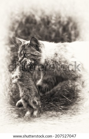 Return of hunting. A tabby cat walking with a young dead rabbit on its mouth. Black and white fine art outdoors portrait of domestic cat - stock photo