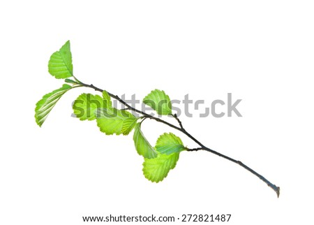 Reverse of small alder twig with young leaves isolated on white - stock photo