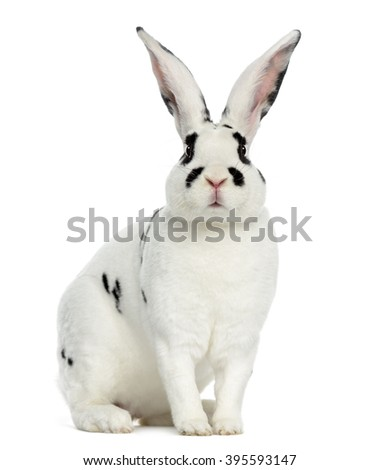 Rex Dalmatian Rabbit sitting, isolated on white - stock photo