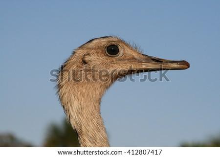 Rhea americana Head - stock photo