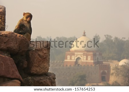 Rhesus Macaque sitting at Tughlaqabad Fort, New Delhi, India - stock photo