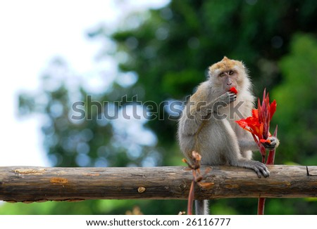 Rhesus monkey is eating flower. - stock photo