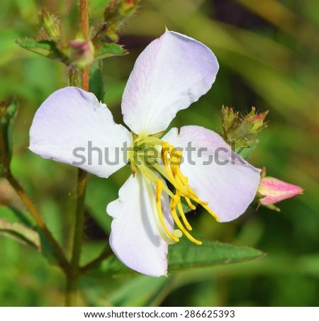 Rhexia mariana at the University of Mississippi Field Station - stock photo