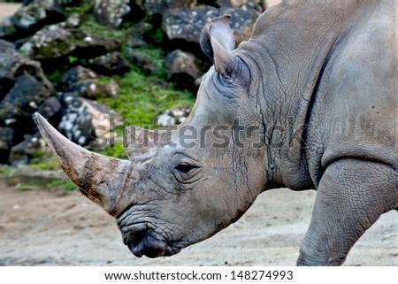 Rhino - stock photo