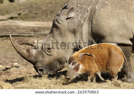 Rhino and pig eating together - stock photo