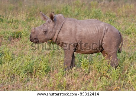 Rhino  calf in nature green grass standing alone - stock photo
