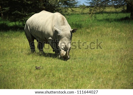Rhino eating grass in Kenya Africa - stock photo