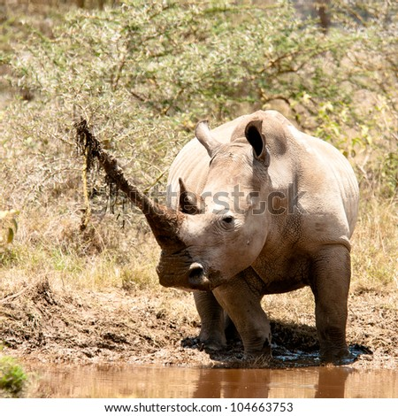 Rhino female with probably the longest horn in East Africa. - stock photo