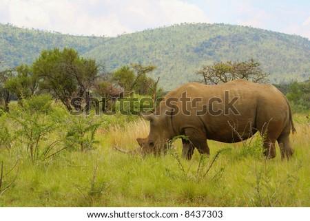 Rhino in Pilanesberg Game Reserve, South Africa - stock photo