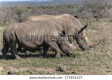 Rhino's Together Wildlife Animals Rhino's side by side young calf about year old plus by mothers side - stock photo