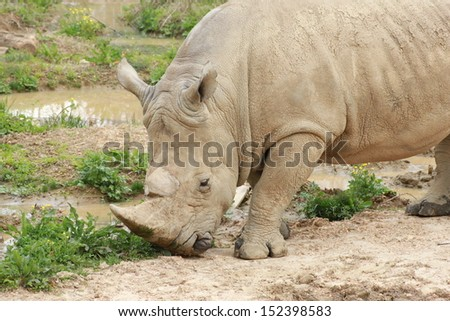 Rhino standing in outdoor zoo habitat - stock photo