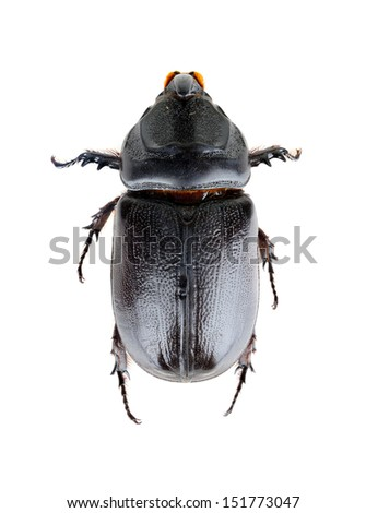 Rhinoceros beetle in Thailand isolated on white background - stock photo