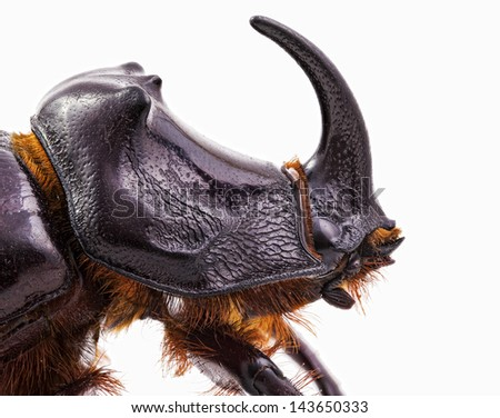 Rhinoceros beetle isolated on white background - stock photo