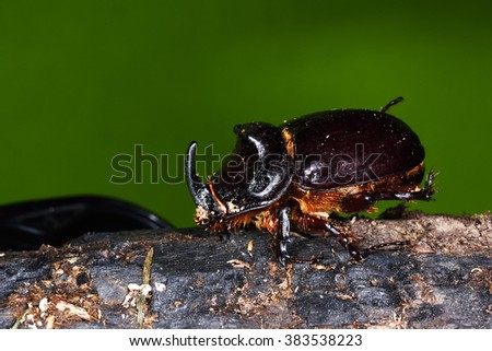 Rhinoceros Beetle (Oryctes nasicornis) - stock photo