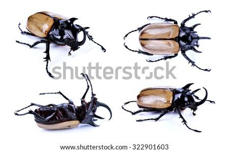 Rhinoceros beetle, Rhino beetle, Hercules beetle, Unicorn beetle - stock photo